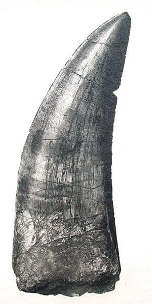 Dent de dinosaure de Damparis (Jura).