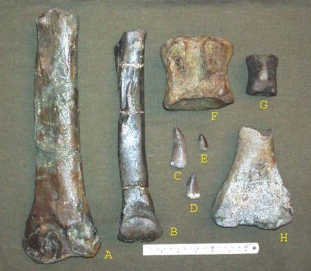 Fossiles de dinosaures de l'Argonne (Meuse, Ardennes).