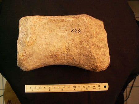 Fossile de dinosaure de Saint-Agnant, Charente-Maritime.