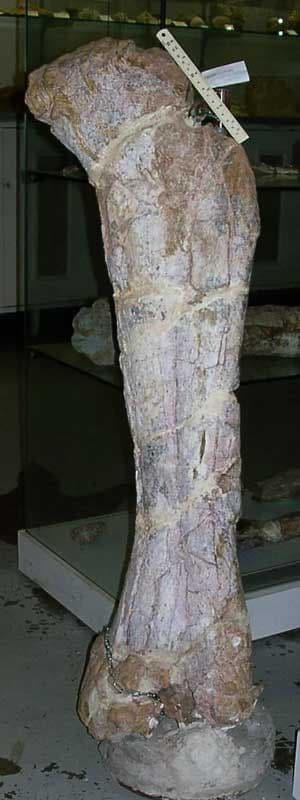 Fossile de dinosaure titanosaure de Montouliers, Hérault.