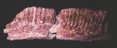 Fossile de dinosaure de Fontjoncouse (Aude).