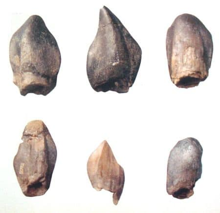 Dents du sauropode Neosodon du Boulonnais (Pas-de-Calais), un des dinosaures géants et nains à la fin du Jurassique.