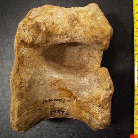 Vertèbre fossile de dinosaure du Puits de la Brême, près d'Ornans (Doubs).