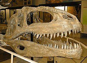 Crâne fossile de Giganotosaurus.