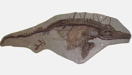 Ichthyosaurus breviceps fossile.