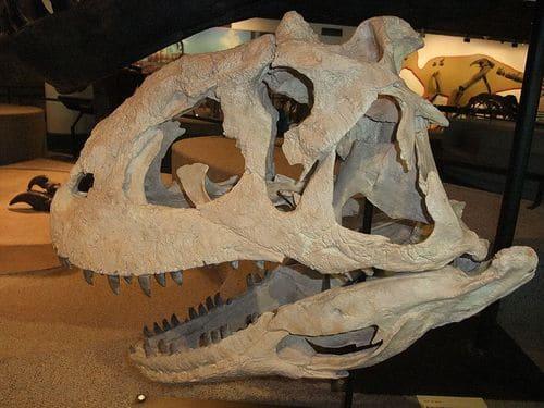 Crâne fossile du dinosaure Majungasaurus.