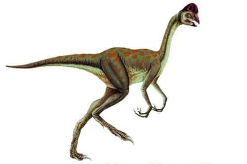 Oviraptor, classiquement représenté sans plume et avec une crête.