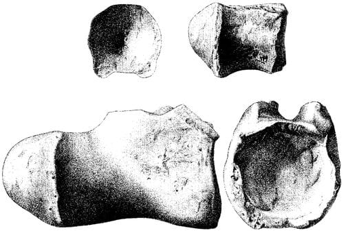 Titanosaurus blanfordi : vertèbres caudales distales de l'holotype.