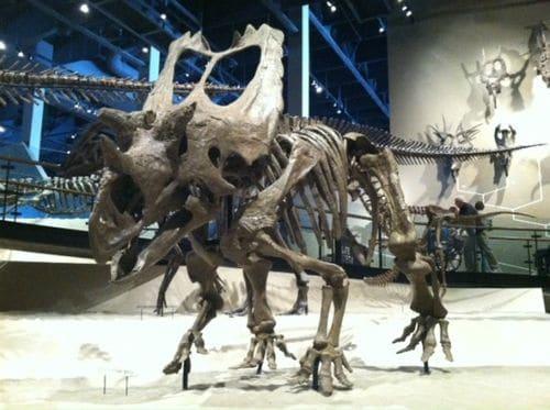 Squelette fossile du dinosaure Utahceratops.