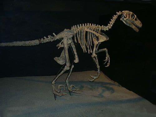 Squelette fossile du dinosaure Variraptor.