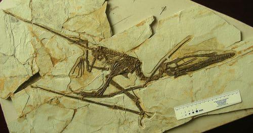 Darwinopterus fossile, il appartient à l'ordre des Ptérosaures, et on le qualifie traditionnellement de reptile volant.