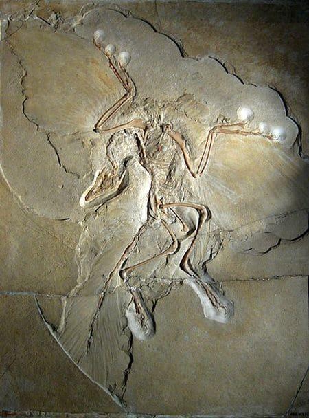 Archéoptéryx fossilisé.