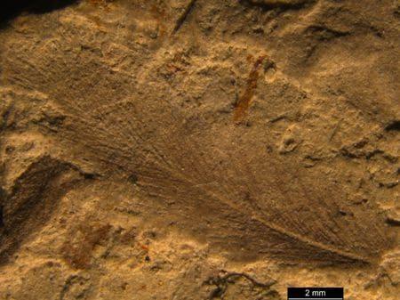 Plume fossile de dinosaure.