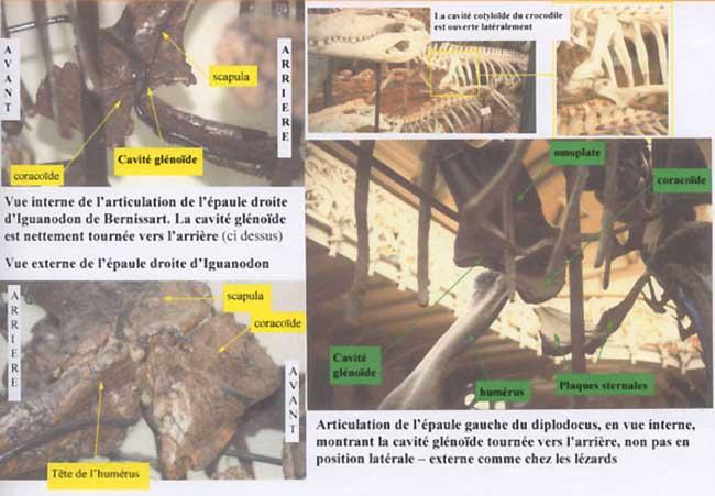 Dinosaure : cavité glénoïde.