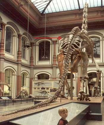 Brachiosaurus brancai et ses 5 vertèbres sacrées soudées.