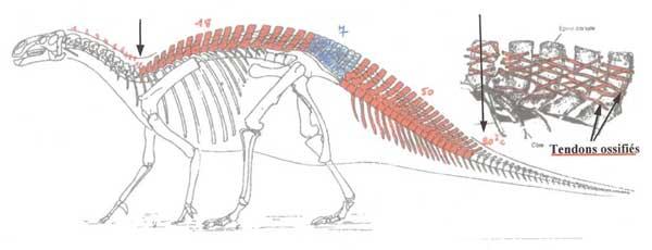 Chez Iguanodon Bernissartensis il y a 7 vertèbres sacrées soudées.