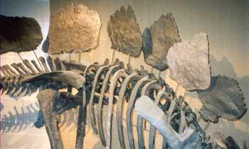 Stégosaure et ses 4 vertèbres sacrées soudées.