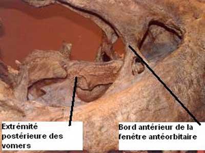 Tête de Tyranosaurus Rex.
