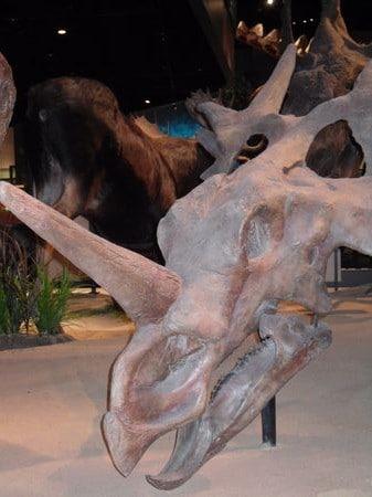 Squelette fossile du dinosaure Styracosaurus.