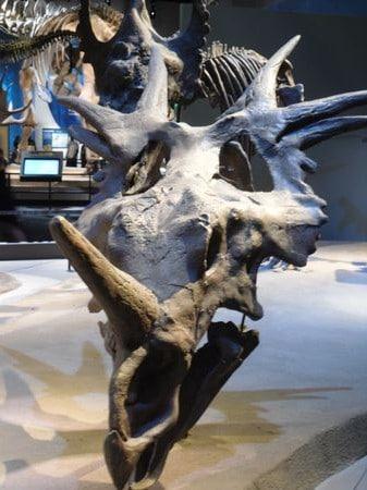 Styracosaurus fossile.