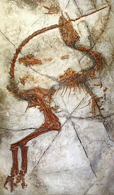 Le dinosaure Sinosauropteryx : un fossile.