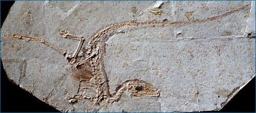 Fossile du dinosaure Sinosauropteryx.