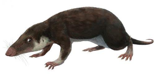 Morganucodon.