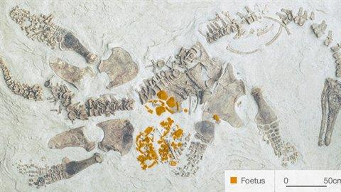 Une maman plésiosaure, lefossile du foetus de plésiosaureapparaît en couleur.