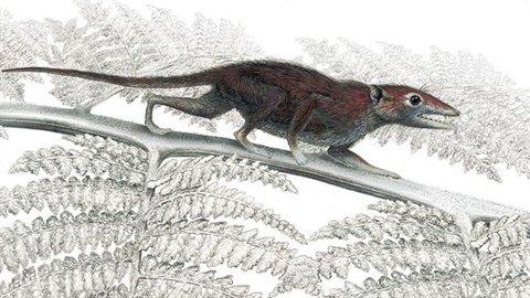 Juramaia sinensis, un ancêtre des mammifères.