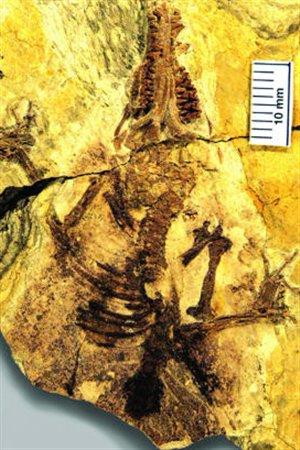 Le fossile de Juramaia sinensis. Photo : BMNH.