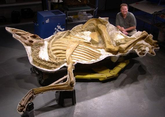 Squelette fossile du dinosaure Brachylophosaurus.