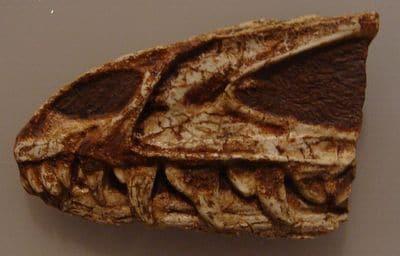 Fossile de crâne juvénil du dinosaure Dracovenator.