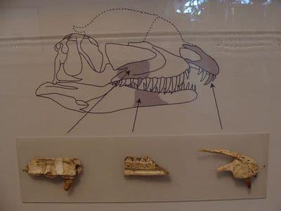 Fossile de Dracovenator.
