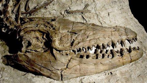Crâne fossile du reptile marin Prognathodon.