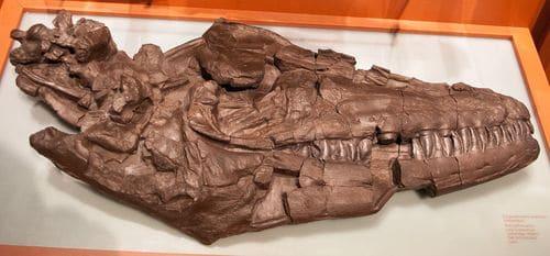 Crâne fossile du reptile marin Prognathodon overtoni.