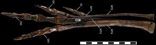 Patte fossile du dinosaure Talos sampsoni.