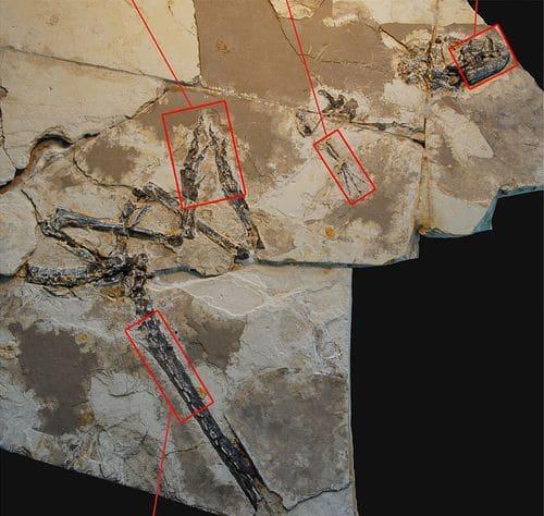 Fossile de Tianyulong.