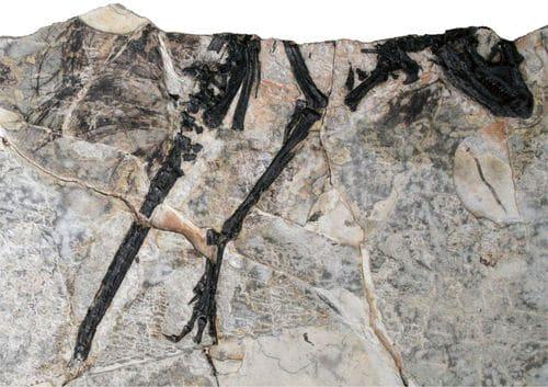 Fossile du dinosaure Tianyulong (holotype).