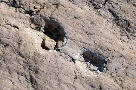Empreintes de pas fossilisés d'Archosaure en Suisse.