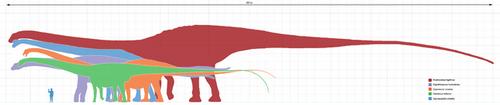 Les différentes tailles de dinosaures sauropodes.