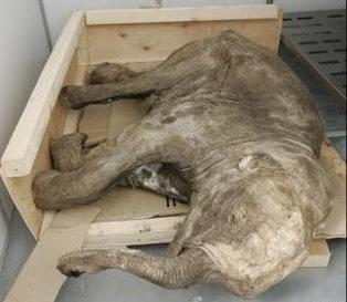Bébé Mammouth trouvé congelé dans le sol de Sibérie.