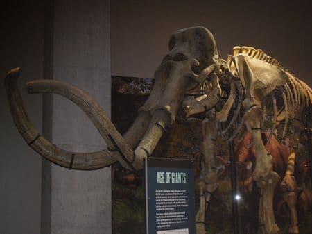 Mammouth fossilé.