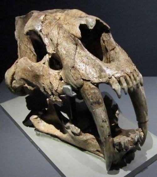 Crâne fossile de Smilodon populator.