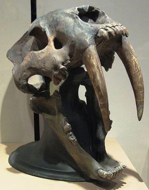 Les dents du Smilodon pouvaient mesurer jusqu'à 18 à 20 centimètres de longueur.