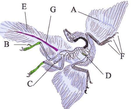 Archaeopteryx était un dinosaure à plumes.