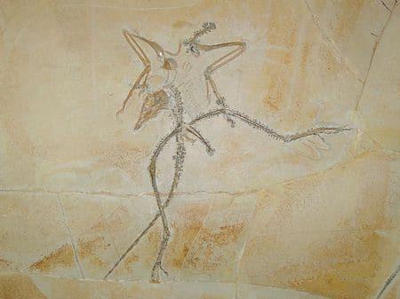 Fossile d'Archaeopteryx (Archéoptéryx).