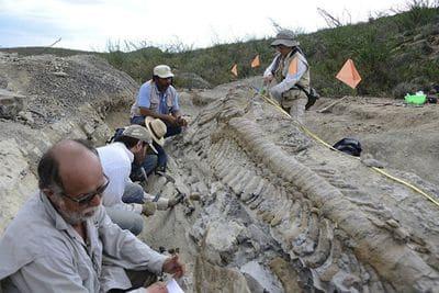 Os fossiles de la queue d'un hadrosaure.