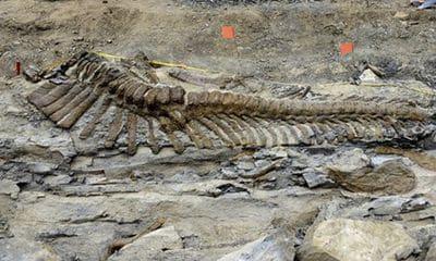Os fossilisés d'hadrosaurea d'une longueur de 5 mètres.