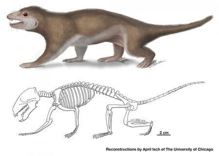 Megaconus mammaliaformis.