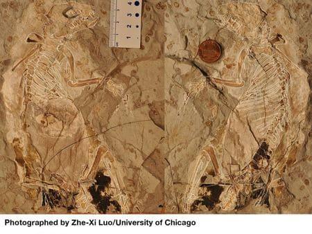 Fossile de Megaconus mammaliaformis.